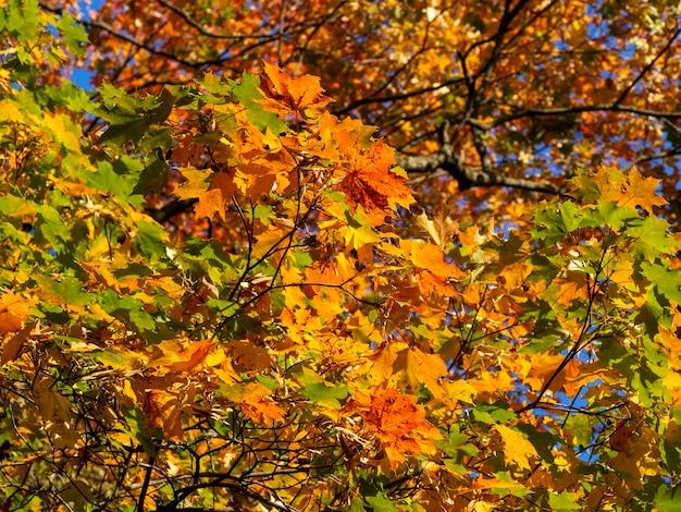 晴れた日の秋のカエデの明るい枝。