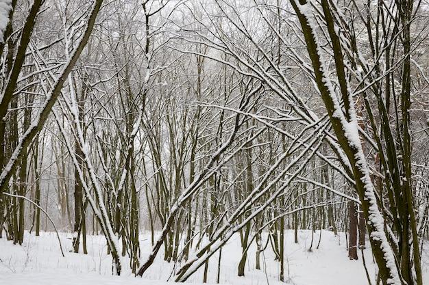 冬の明るく明るい日、公園や木々のある森の寒い霜の降りる天気