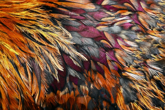 Bright brown feathers of rooster close up.