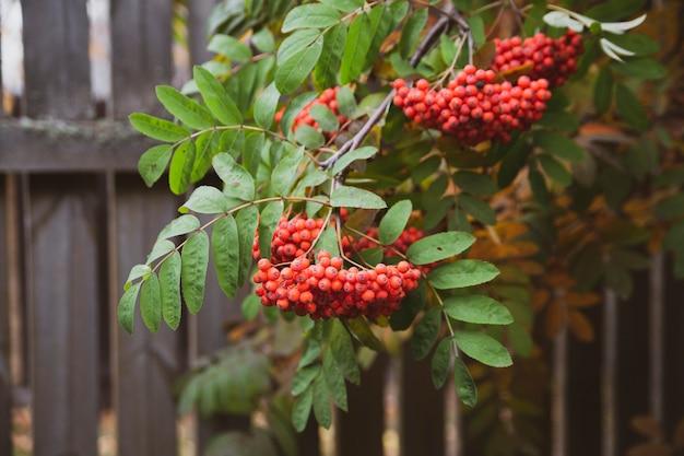 Яркие грозди рябины осенью