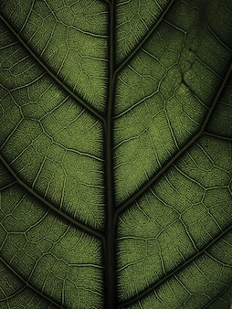 Bright close-up of ficus lyrata leaf structure as the background