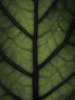 배경으로 ficus lyrata 잎 구조의 밝은 클로즈업