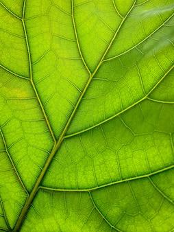 Ficus lyrata 잎 구조의 밝은 클로즈업