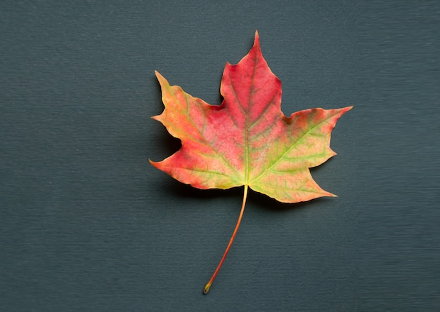 A bright colorful autumn maple leaf lies on a black background