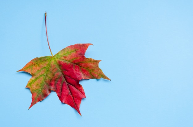 A bright colorful autumn maple leaf lies on a blue background