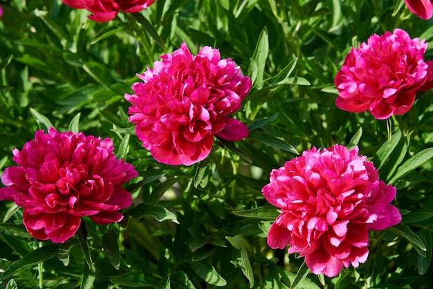 Bright colorful flowering peonies flowers.
