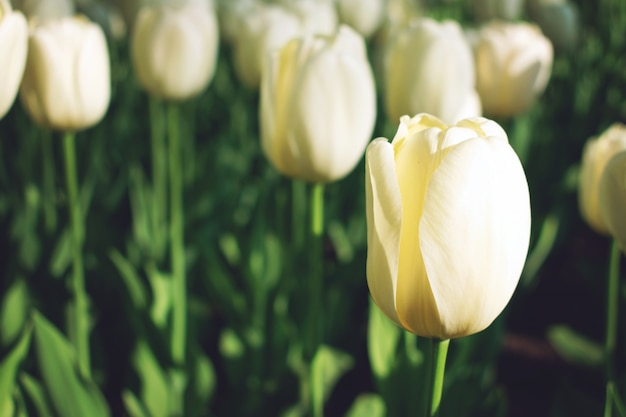 Bright colorful tulips background, banner