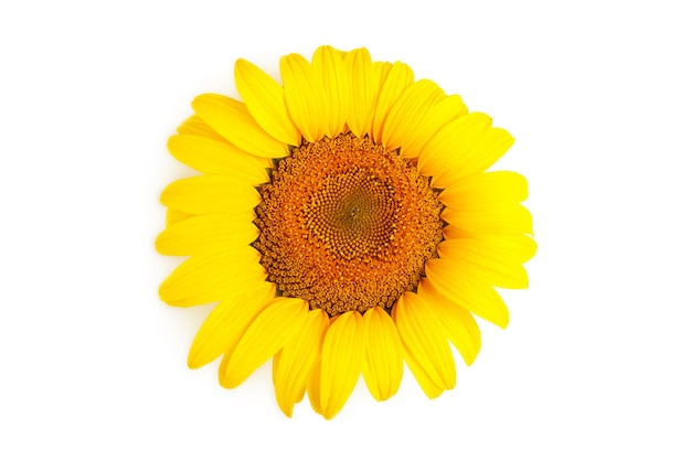 Яркий красочный желтый подсолнух, изолированные на белом фоне