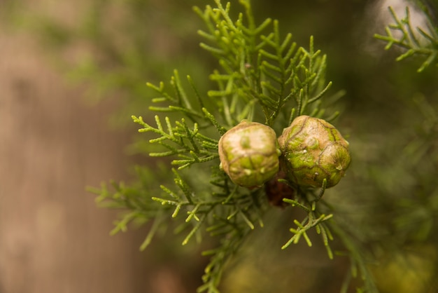 Bright cypress cones on a tree on blurred background