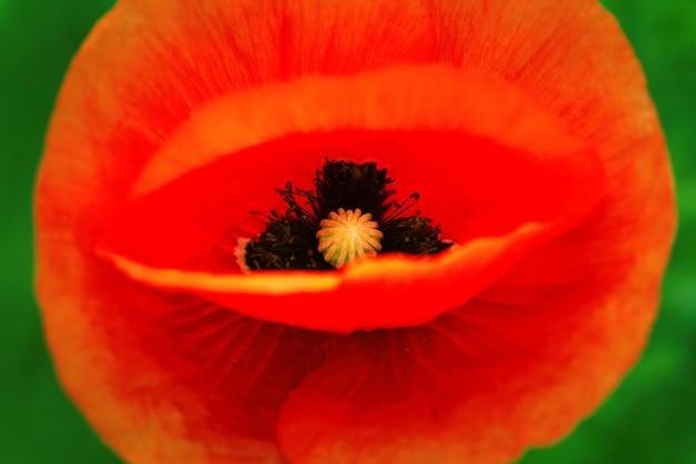 밝은 날 붉은 양 귀 비 클로즈업 / 초여름 야생 꽃