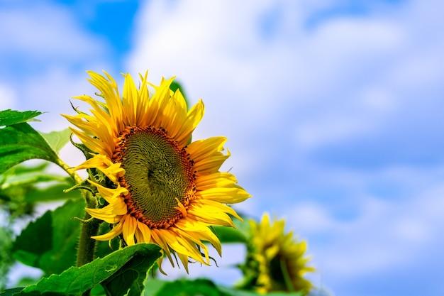 푸른 하늘에 해바라기의 밝은 장식용 노란색 꽃이 봄이나 따뜻한 여름에는 자연에 구름이 있습니다. 화초 재배나 원예를 위한 아름다운 예술적 이미지.