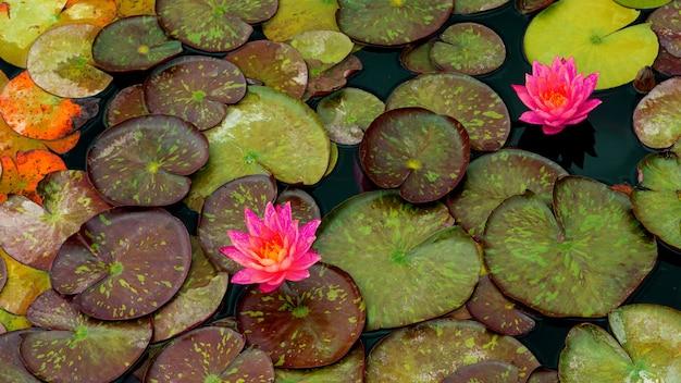 Яркие нежные цветы кувшинки среди зеленых листьев на воде