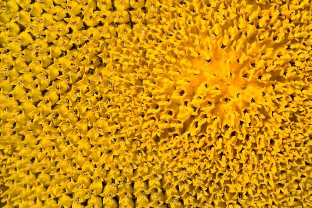 ヒマワリの花序のクローズアップの明るい詳細