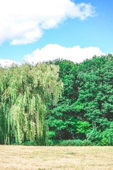 Яркое поле луг деревья сосны небо облака солнечный день лето копия пространства