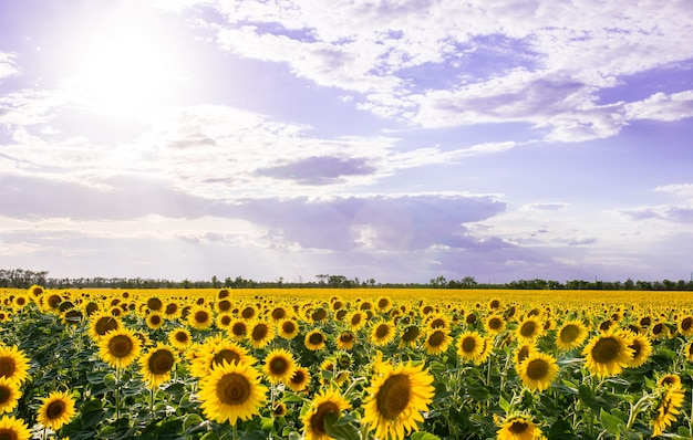Яркое поле желтых подсолнухов сельский пейзаж