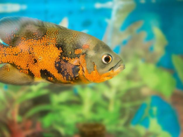 Bright fish oscar in the aquarium