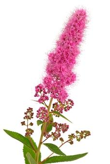 밝은 꽃 spiraea, 촬영 된 근접. 흰색 표면에 격리.