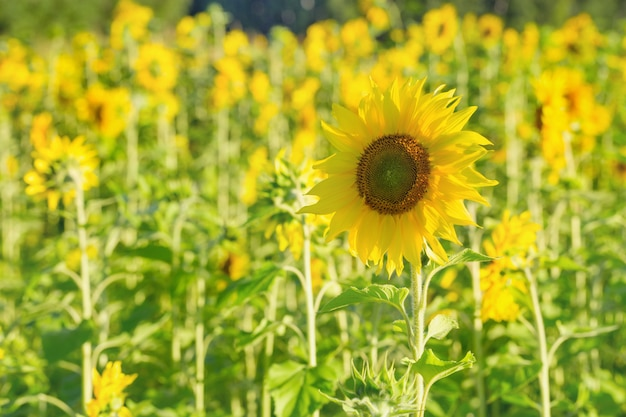 Bright flower of a sunflower on a background field with yellow flowers