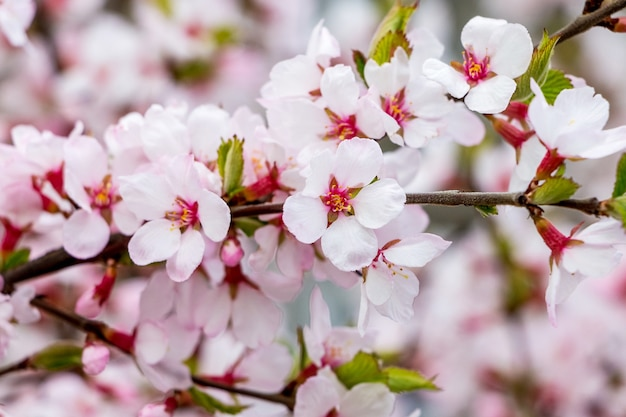 ピンクの色合いの木の枝にアプリコットの明るい花