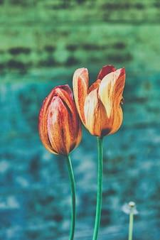 春の公園で赤と黄色のチューリップの鮮やかな花