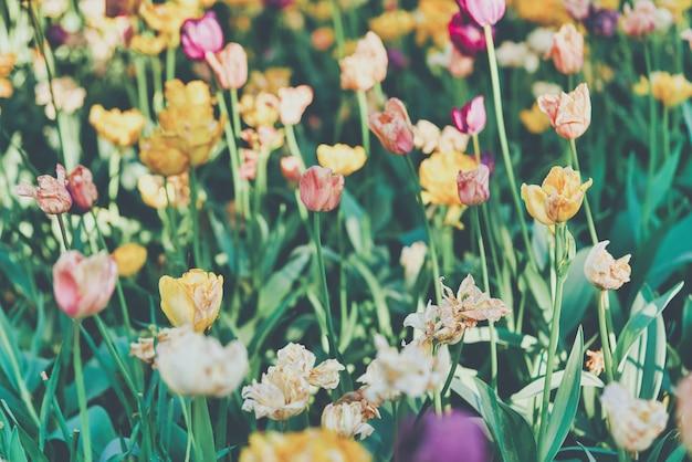 화창한 아침에 튤립 필드에 튤립의 밝은 꽃