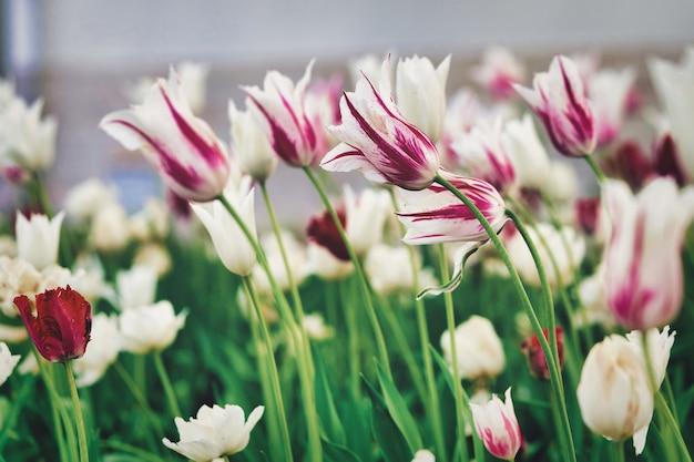 晴れた朝のチューリップ畑に鮮やかなチューリップの花