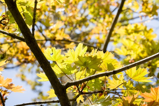 Bright foliage of trees close up in autumn, sunny weather on real nature