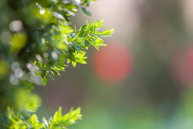ぼやけたカラフルなコピースペース背景に明るい新鮮な緑の装飾的なつげブッシュブランチ。ガーデニングアートと農業の概念。