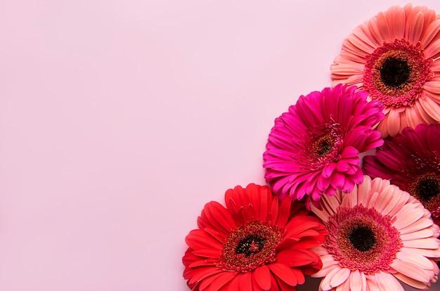 Яркие цветы герберы на пастельно-розовом фоне