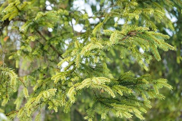 Ярко-зеленые ветки елки в лесу