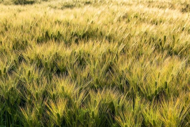 日本の農業分野で育つ明るい緑の黄金の小麦