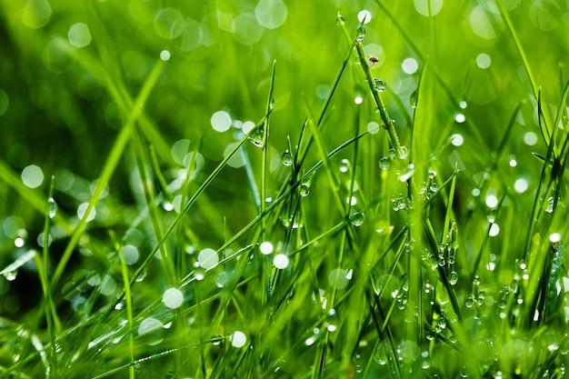 이슬이 있는 밝은 녹색 풀은 작은 파리를 떨어뜨립니다.