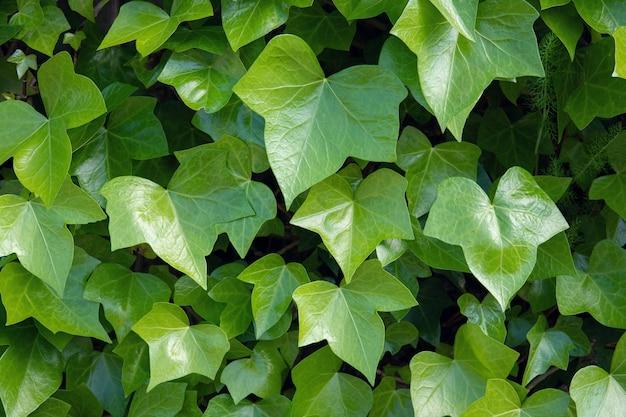 밝은 녹색 담쟁이 .hedera 나선