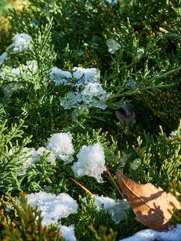 Ярко-зеленые ветки можжевельника с остатками снега освещаются солнцем