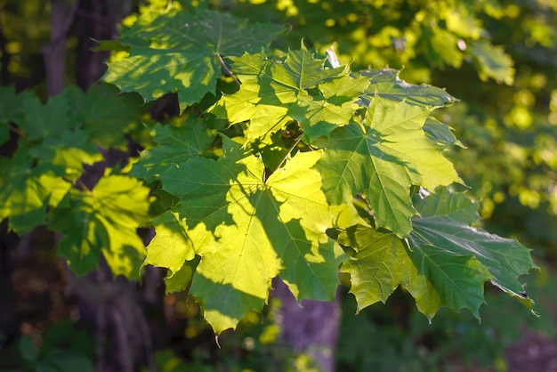 Ярко-зеленые кленовые листья в солнечном свете крупным планом