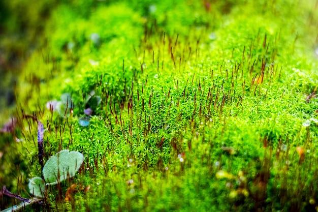 森の中で明るい緑の苔。緑の苔の背景