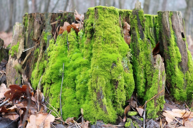 Bright green moss on a stump in the forest