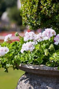 Bright heranium flowers in ancient stone pot