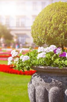 Яркие цветы герани в древнем каменном горшке