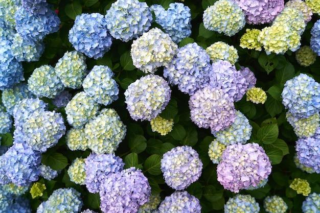 녹색 수풀에 밝은 수국 꽃