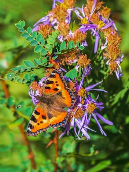 Bright imago aglais urticae, small tortoiseshell butterfly on a autumn flower, close up.
