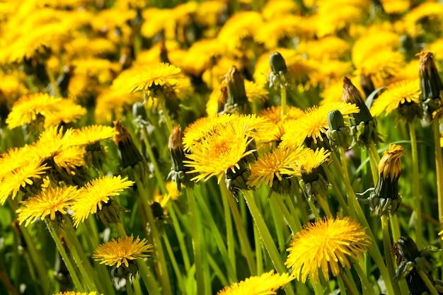野外での新鮮な黄色のタンポポの明るい花序