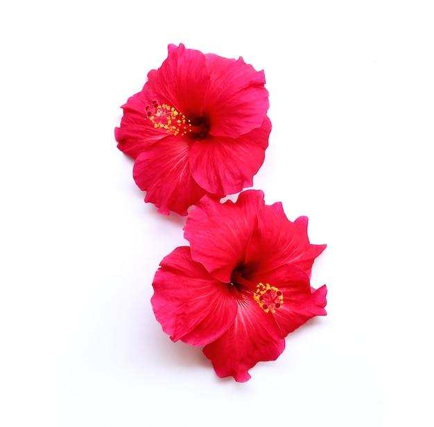 밝은 큰 빨간 히비스커스 꽃 중국 장미 하와이 히비스커스 꽃