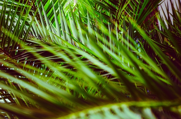 Bright leaves of fluffy tropical palm tree in creative processing, toning. background.