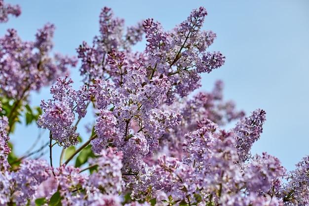Яркие сиреневые цветы и голубое небо.