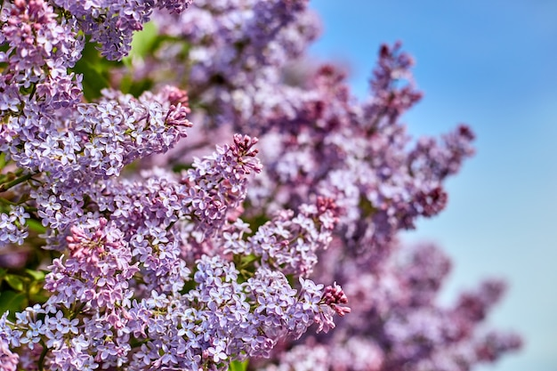 Bright lilac flowers on a beautiful day