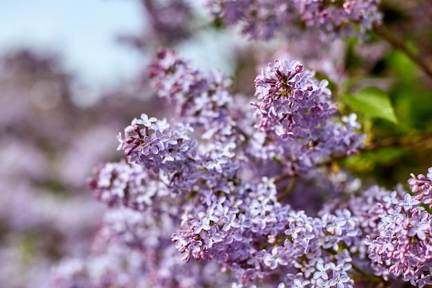 美しい夏の晴れた日に明るいライラックの花。大きな美しさのライラックの茂みが自然に咲きます。