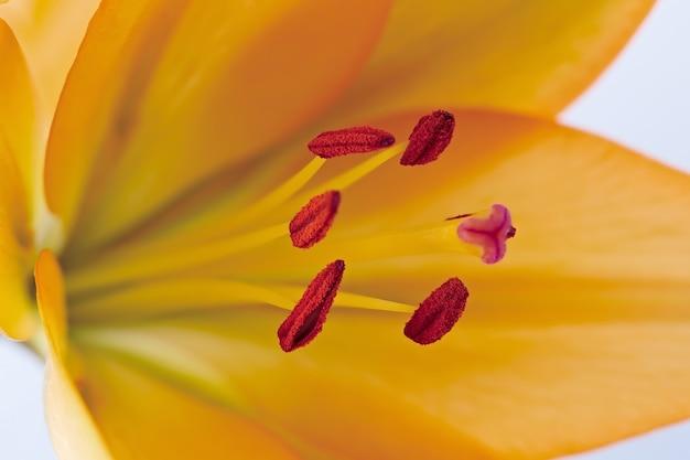 Яркий цветок лилии сфотографирован крупным планом