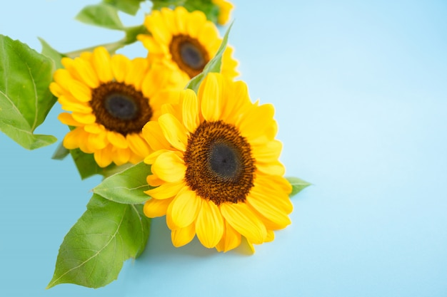 Bright little sun flowers isolated over a blue light color background
