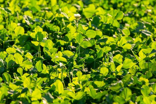 햇빛에 밝은 무성한 녹색 잔디.